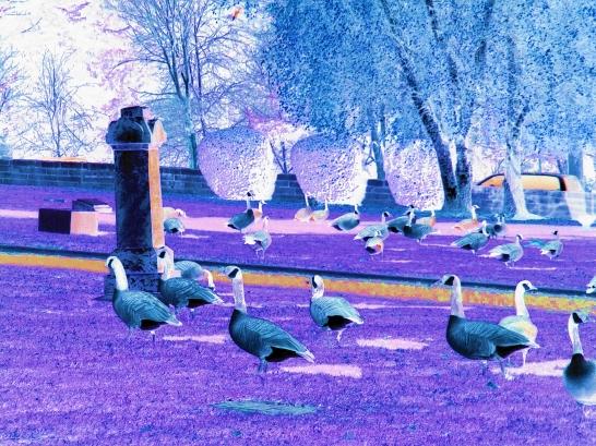 geese at graveyard