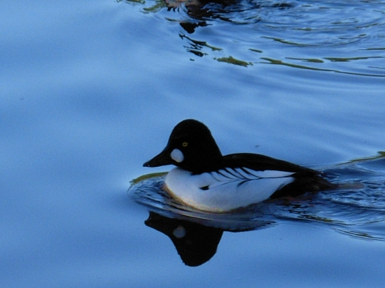 Common Goldeneye (male)-Kim Goldberg